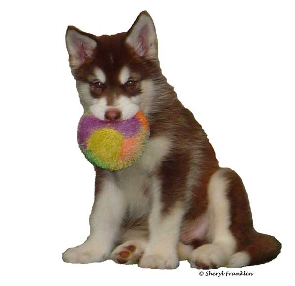 Cute Alaskan Malamute Puppy with ball - Cinnabar