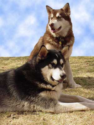 Alaskan Malamute Power - Sebastian and Cinnabar