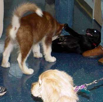 Sheryl S Alaskan Malamutes Cinnabar Puppy Kindergarten