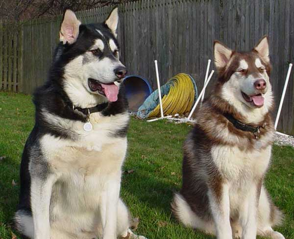 alaskan husky puppies for sale in mi