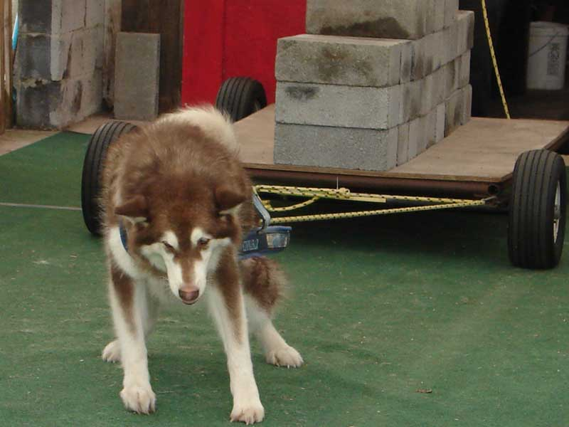 Canine Weight Pull