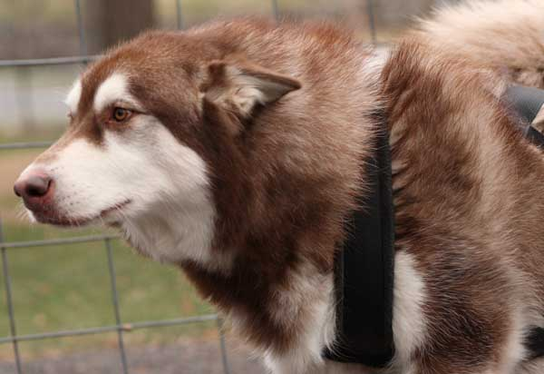Port Clinton - IWPA Weight Pull - malamutes