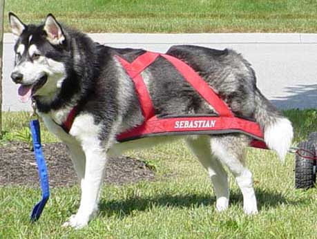 Sheryl's Alaskan Malamutes - Weight Pulling - A Basic Introduction